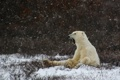 Картинка winter, polar bear, snowing, laziness, yawning