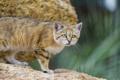 Картинка кошка, песчаный кот, ©Tambako The Jaguar, барханная кошка