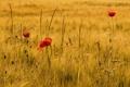 Картинка поле, осень, трава, цветы, мак