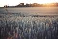Картинка колоски, поле, закат