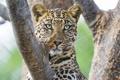 Картинка дикая кошка, морда, хищник, сук, леопард