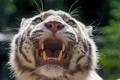 Картинка кошка, морда, клыки, оскал, белый тигр, ©Tambako The Jaguar