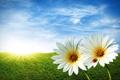 Картинка трава, ромашки, весна
