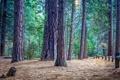 Картинка лес, сосна, деревья