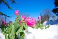 Картинка небо, снег, цветы, тюльпаны