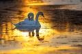 Картинка зима, птицы, озеро, рассвет, лебеди