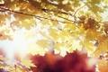 Картинка листья, осень, солнце, клен, желтые, лучи