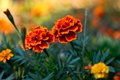 Картинка трава, лепестки, Бутоны, flowers
