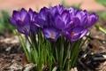 Картинка цветы, лепестки, крокусы