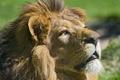 Картинка кошка, взгляд, морда, лев, профиль, ©Tambako The Jaguar