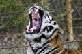 Картинка кошка, морда, тигр, пасть, клыки, зевает, амурский