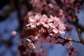 Картинка небо, цветы, вишня, дерево, ветка, весна, сакура