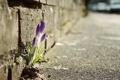 Картинка цветок, дорога, фото, растение, тротуар, весна, макро