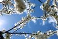 Картинка весна, небо, sakura, цветение, сакура, Spring flowers, голубое