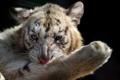 Картинка тигр, фото, большая кошка