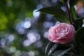 Картинка цветок, розовый, лепестки, камелия