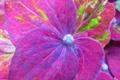 Картинка цветок, макро, цветы, flower, flowers, macro, Hydrangea