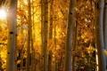 Картинка природа, осень, свет, берёзы