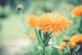 Картинка цветок, цветы, оранжевый, размытость, бутоны, Clare Beet