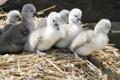 Картинка солома, малыши, маленькие серые гусята
