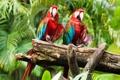 Картинка птицы, попугаи, birds, ара, parrots