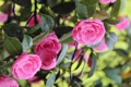 Картинка цветы, розовая, цветение, камелии