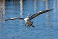 Картинка вода, птица, крылья, пеликан