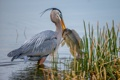 Картинка вода, птица, рыба, клюв, пеликан