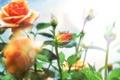 Картинка лето, розы, ярко, оранжевые