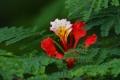 Картинка цветок, листья, макро, лепестки, Делоникс королевский