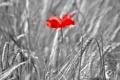 Картинка цветок, мак, колосья, поле, лепестки