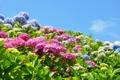Картинка небо, пейзаж, цветы, природа, голубое, гортензия