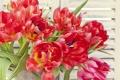 Картинка тюльпаны, красные, бутоны, крупным планом