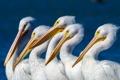 Картинка природа, птицы, пеликаны