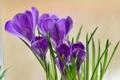 Картинка цветы, фиолетовые, крокусы, весенние