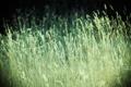 Картинка зелень, поле, лето, трава, природа, фото, фон
