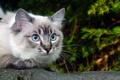 Картинка зелень, кошка, глаза, ветка, голубые