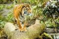 Картинка взгляд, тигр, дерево, хищник