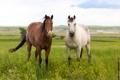Картинка луг, лошади, пара