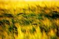 Картинка трава, природа, колоски, растения. проле
