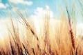 Картинка пшеница, небо, колосья