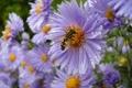 Картинка макро, цветы, пчела, лепестки