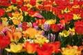 Картинка тюльпаны, разноцветные, бутоны, много