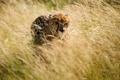 Картинка охота, гепард, трава, Африка