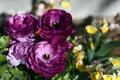Картинка цветы, фото, лютик