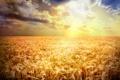 Картинка пшеница, поле, лучи, закат, мак, колосья, золотистый