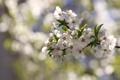 Картинка цветы, вишня, ветка, лепестки, белые, боке