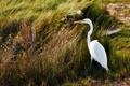 Картинка трава, болото, Большая белая цапля, Ardea alba