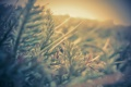 Картинка свет, иголки, фото, растение