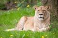 Картинка кошка, лето, трава, львица